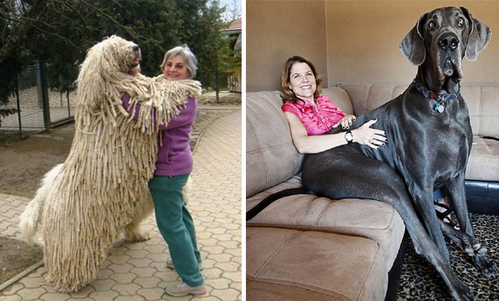 50 Dogs Who Don't Understand How BIG They Are