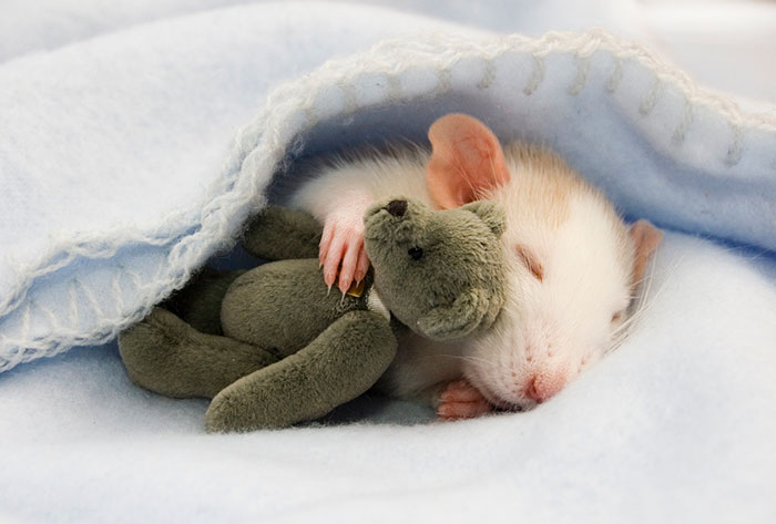 Two Women Take Adorable Pictures of Rats With Teddy Bears