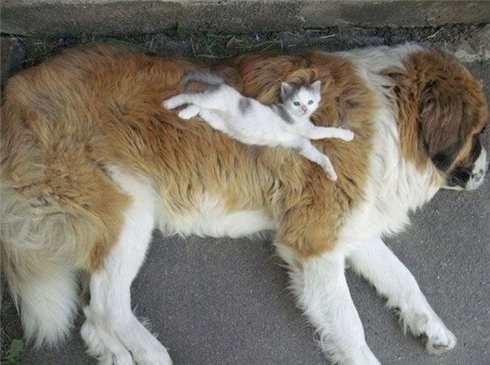 80 Cats Who Use Dogs As Pillows