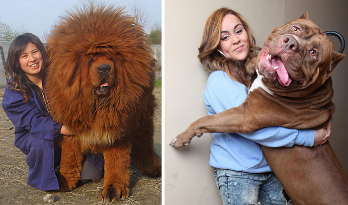 128 Dogs Who Don't Understand How BIG They Are