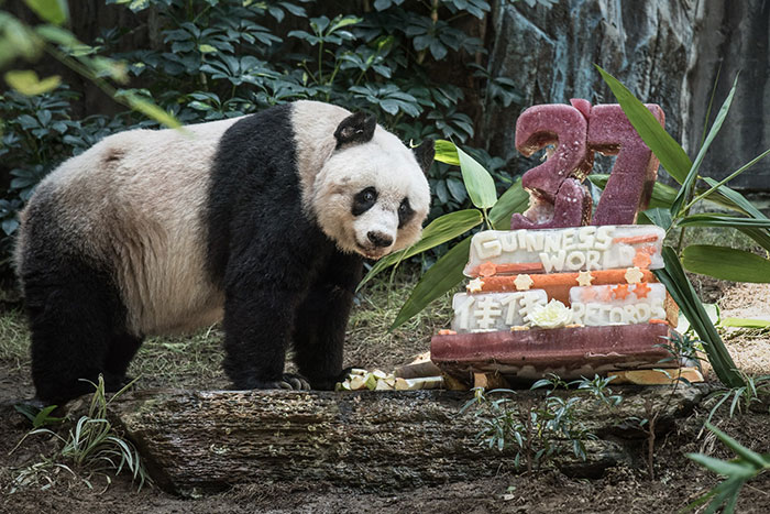 World's Oldest Panda Celebrates 37th Birthday And Sets Guinness World Record