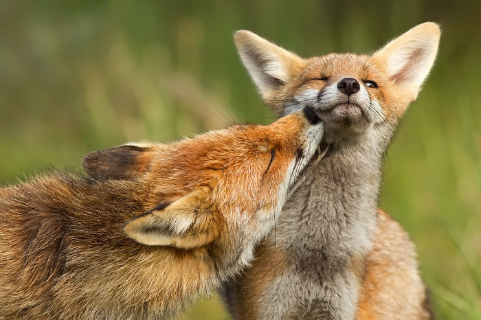 Foxy Love: Photographer Proves That Foxes Are Extremely Loving Creatures (11 Pics)