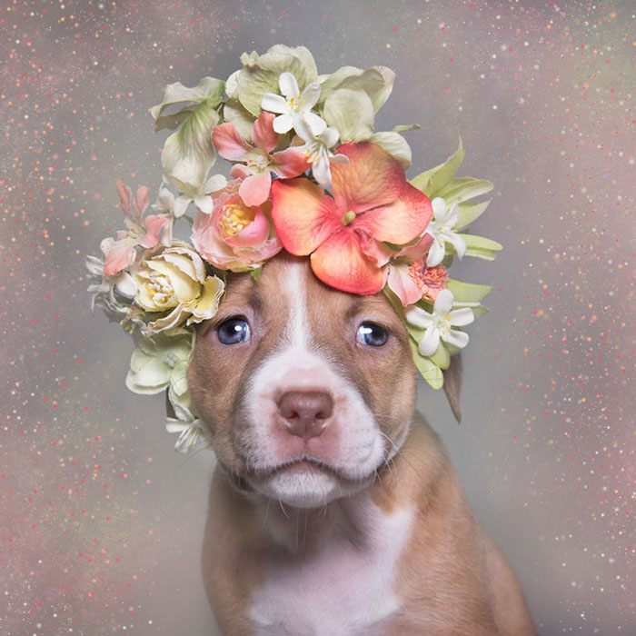 'Pit Bull Flower Power' Already Found Homes For 51 Pits (New Pics)