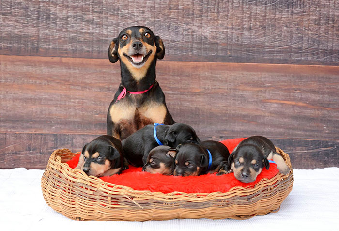 Maternity Photoshoot Dog Just Gave Birth To 5 Super Cute Puppies
