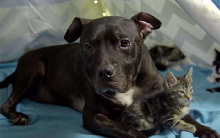 Pit Bull Rescued From Dog Fighting Ring Now Spends His Days Cuddling Kittens