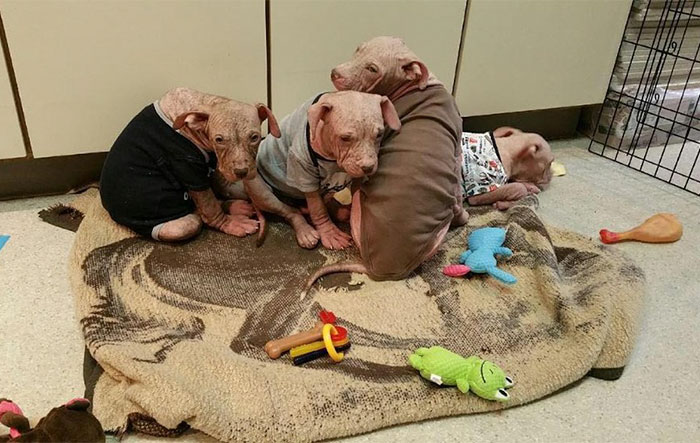 After Horrible People Abandoned These Puppies, They Got So Sick They Had Lost All Their Fur