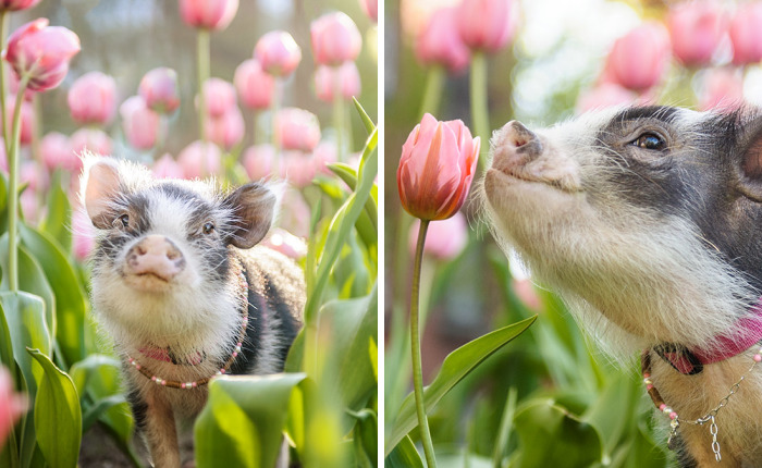 I Photographed A Pig In Pink Tulips