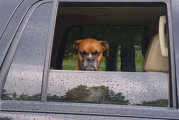216 Hilarious Photos That Prove Boxers Are The Weirdest Yet Most Adorable Dogs Ever