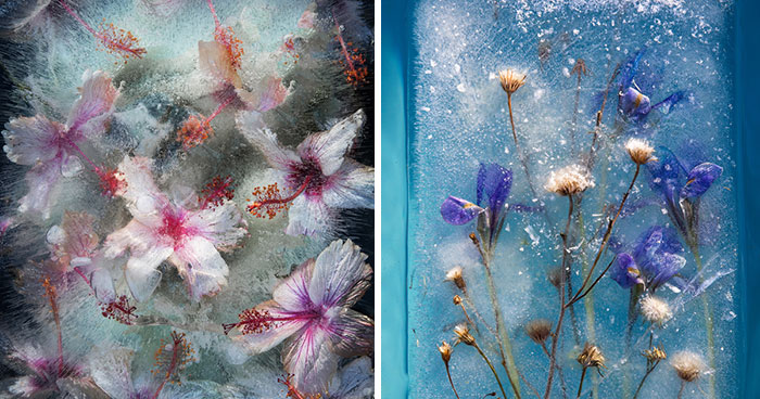 30 Pics Of Flowers That We Captured Encased In Ice (New Pics)