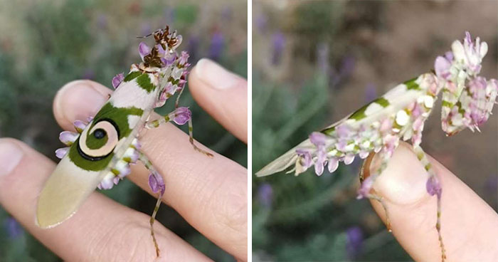 Woman Finds An Incredible Bug That Looks Like A Walking Flower