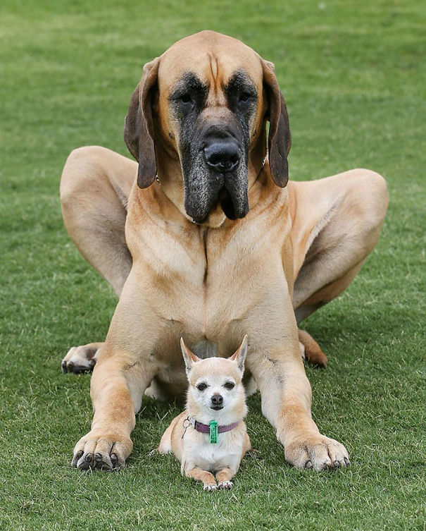 Ryder The Great Dane Who Weighs 87 Kg With His Friend Ally The Chihuahua Who Weighs 2 Kg