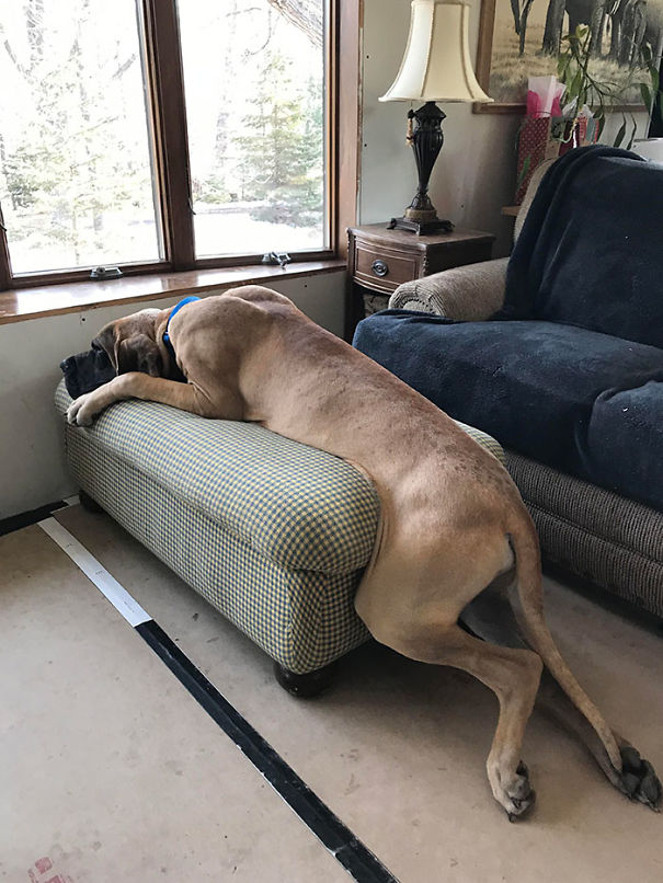 How My Parents' Great Dane Puppy Lays On The Ottoman He Outgrew