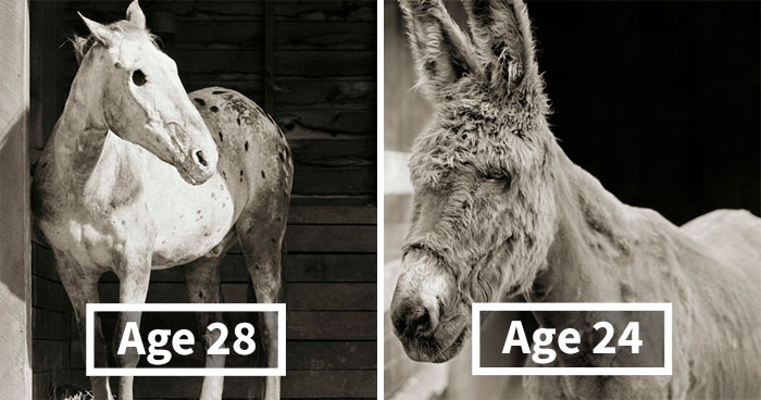 """""""Allowed To Grow Old:"""" Photographer Captures Rescue Animals Who Escaped Slaughterhouses Or Farms (15 Pics)"""