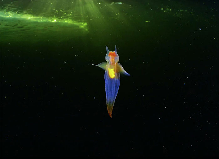 """""""This Isn't CGI"""": Video Of A Real-Life Creature Known As A Sea Angel Hovering Under Ice In The White Sea Goes Viral"""