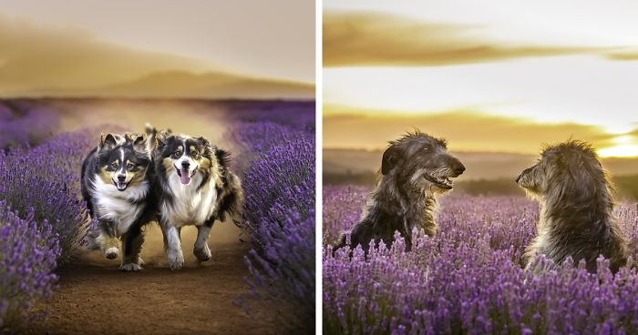 Every January, I Go To Blooming Lavender Fields In Tasmania To Take These Dreamy Photos Of Pets (100 Pics)