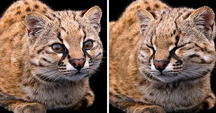 Smallest Wild Cat In Western Hemisphere Gets Cuter As Video Unveils What It Sounds Like
