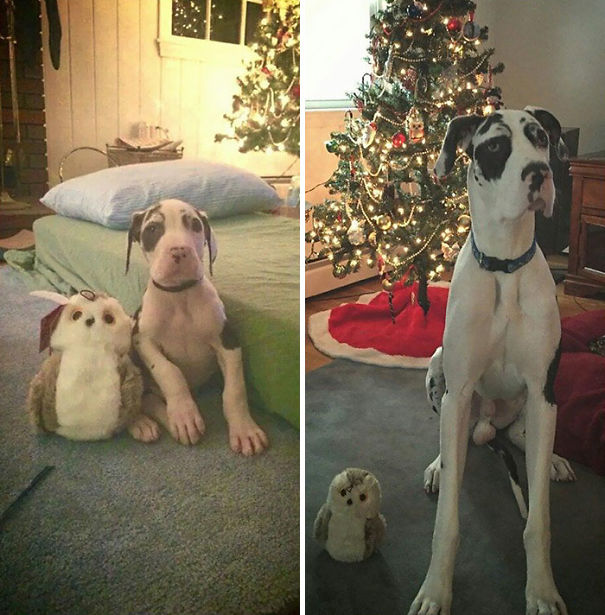 My Great Dane Puppy's One Year Difference