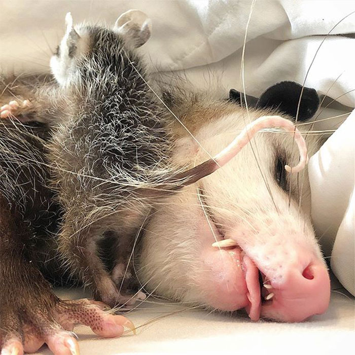 If You Think Opossums Are Scary 'Pests,' These Rescue Opossums May Change Your Mind (40 Pics)