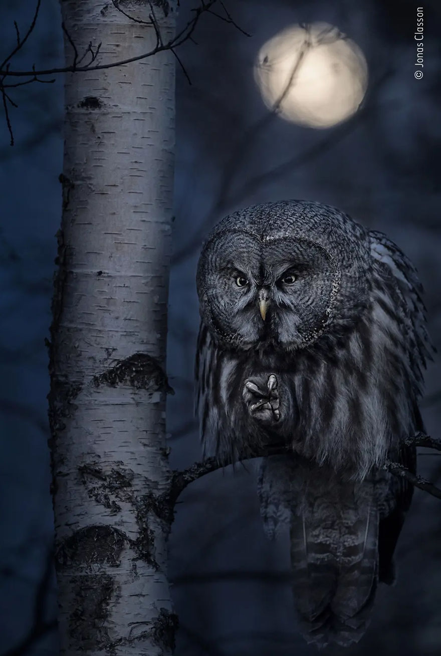"""Animal Portraits Highly Commended: """"Night Hunter"""" By Jonas Classon"""
