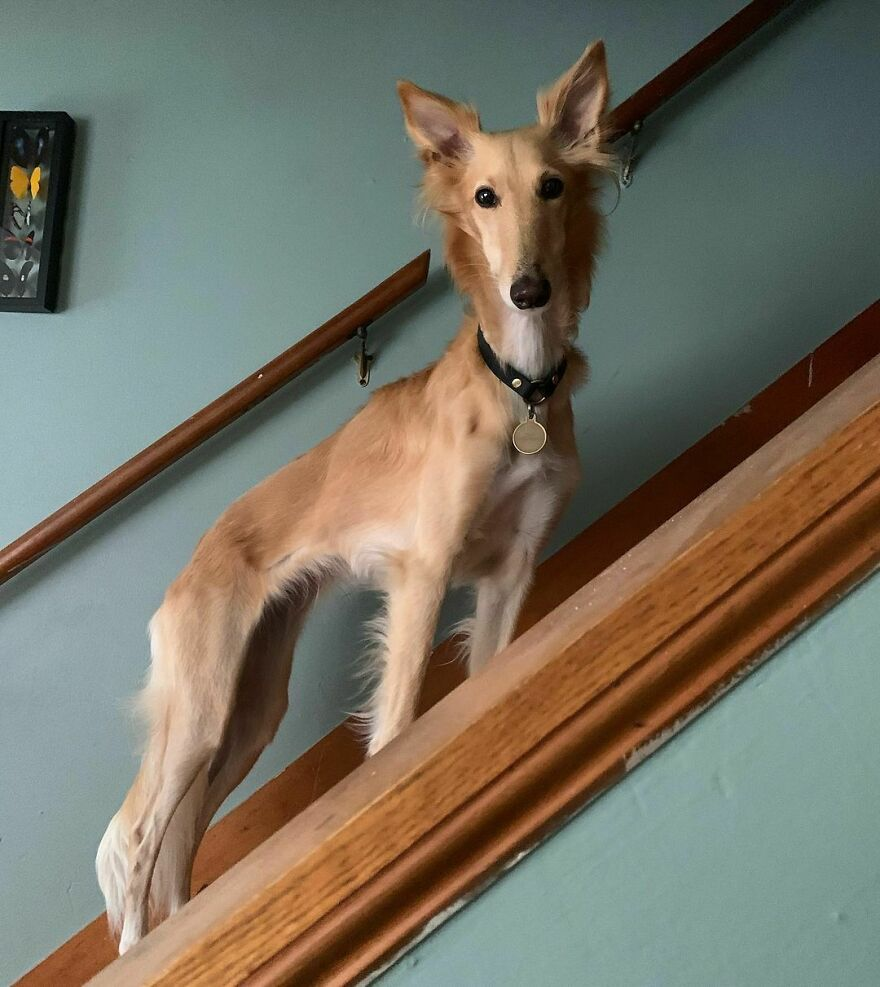"""Meet Cleo, The Dog Known As The """"Giraffe Dog"""" That Is Enchanting The Internet"""