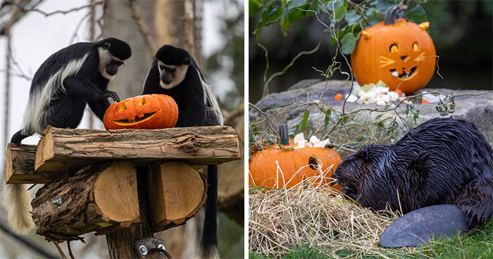 This Animal Park In Belgium Decided To Surprise Its Animals With Halloween-Themed Treats
