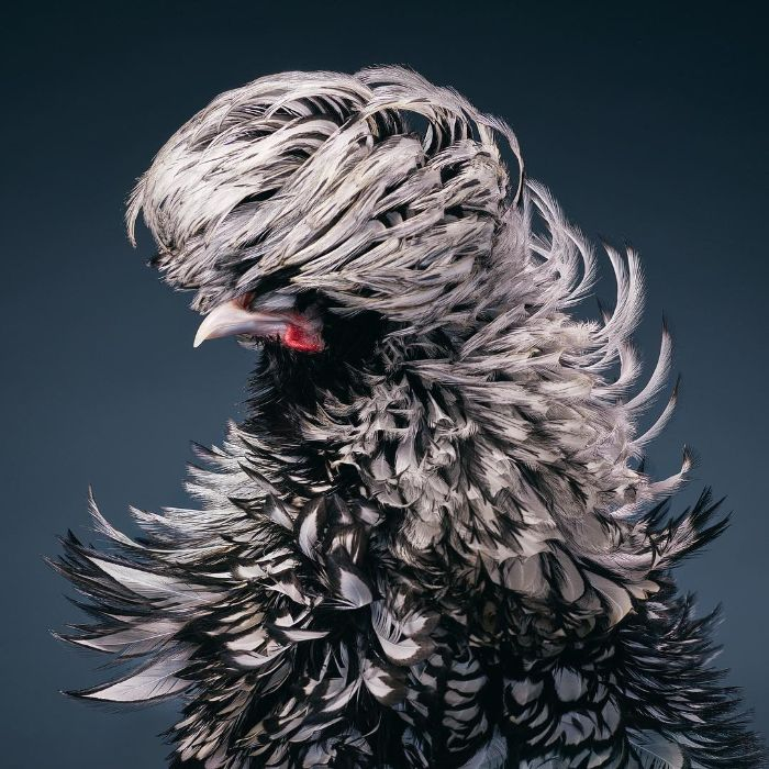 This Silver-Laced Rooster