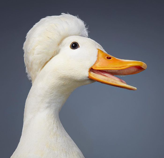 Crested Miniature Duck