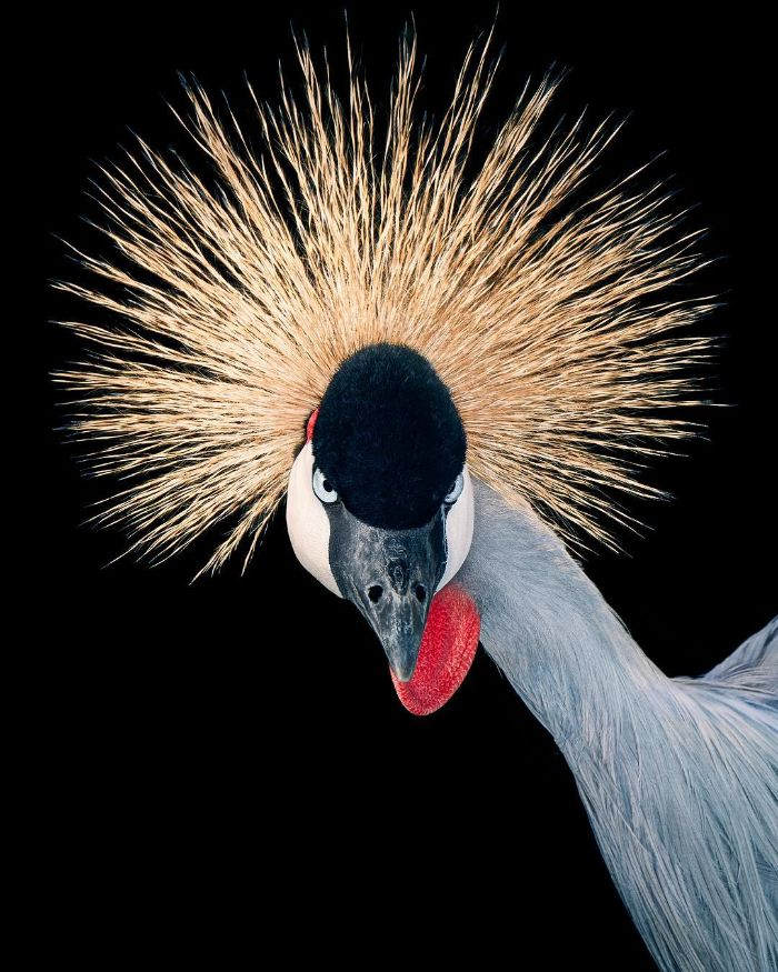 The Grey Crowned Crane