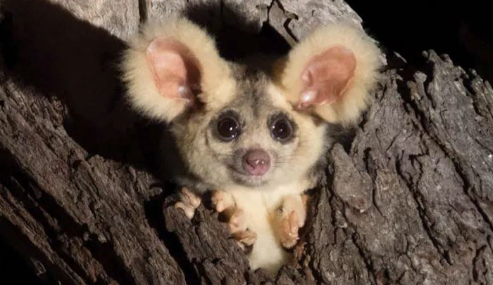 Turns Out, These Adorable Australian Greater Gliders That Can Glide Up To 100 Meters Are Actually 3 Different Species