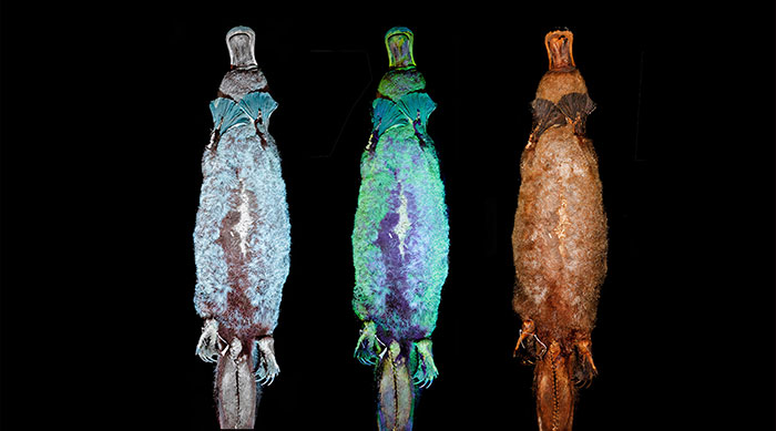 Scientists Just Realized That Platypuses Glow Under A UV Light, Further Adding To The Bizarreness Of The Animal
