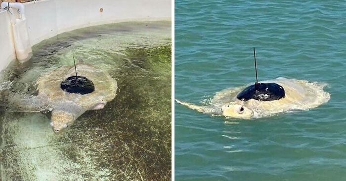 Sea Turtle Named Lou Learns To Swim Again After Losing Two Flippers In Fishing Nets