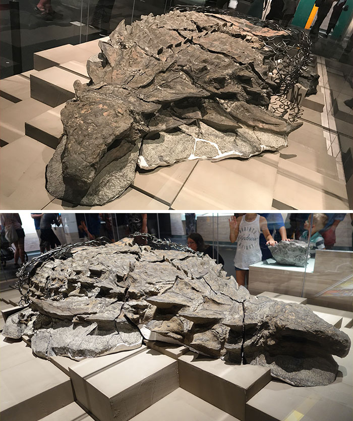 This Fossil Of A Borealopelta Found At A Suncor Energy Oil Sands Mine Said To Be The Best-Preserved Dinosaur Fossil Of Its Size Ever Found