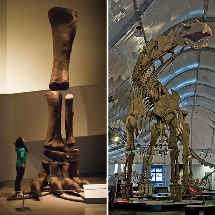 The Absolutely Stunning Size Of This Argentinosaurus's Leg (And A Human For Scale)