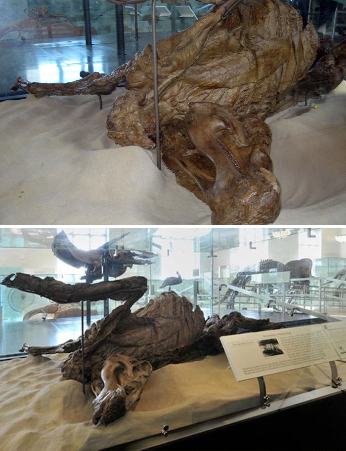 This Edmontosaurus Mummy, Or AMNH 5060, The First Dinosaur Specimen Found To Include A Skeleton Encased Inside Skin Impressions