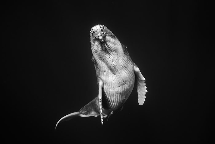 Underwater Photographer Swims With Humpback Whales And The Photos Are Ethereal (25 Pics)