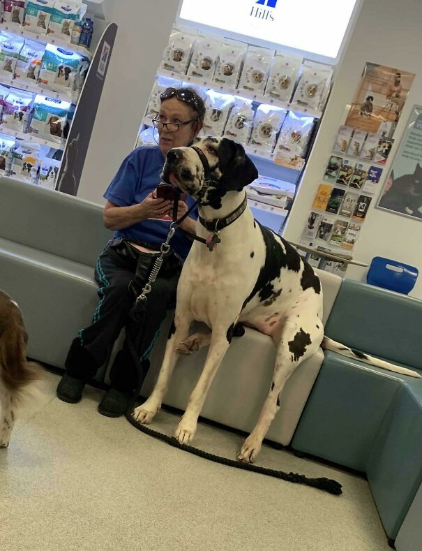 Saw A Gentle Giant At The Vets! She Was A Darling And Sat Down With Her Owner While They Waited
