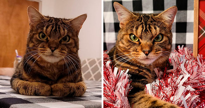 Giggles The Angry Cat Isn't Actually Angry And Is, In Fact, A Total Sweetheart (28 Pics)