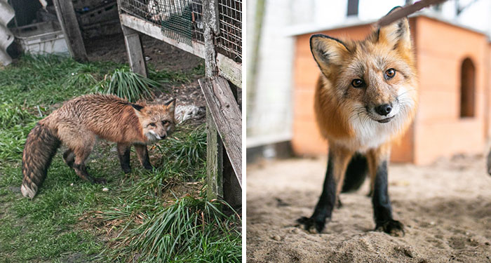 This Fox Was Meant To End Up As Someone's Coat, Gets A New Life After Being Rescued From A Fur Farm