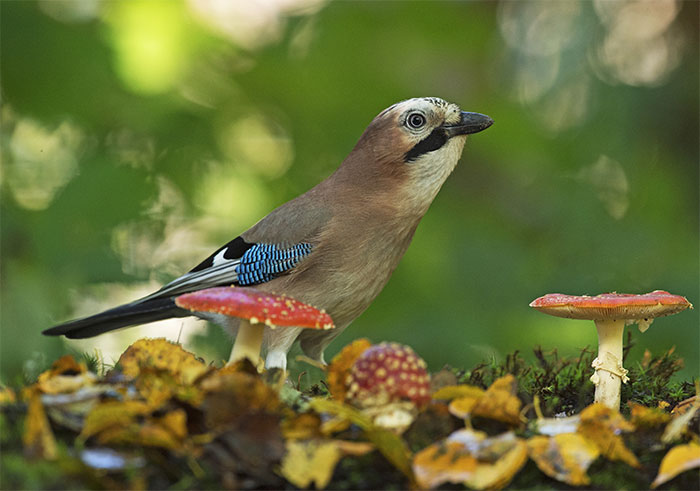 "I've Been Photographing Gorgeous Jays In My Garden For The Past Years And I've Learned To Tell Them Apart By Their Black And Blue ""Barcodes"""