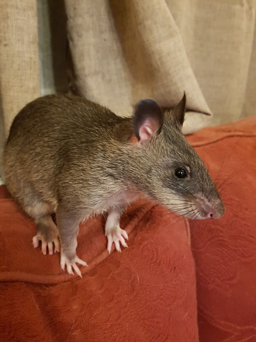My Gambian Pouched Rat, Floki, When He Was A Baby. He's Now The Size Of A Small Cat