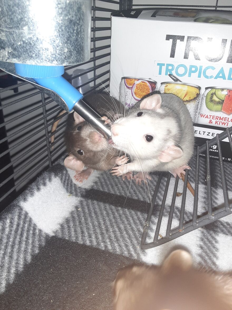 Marshmallow And Pimento Trying To Share Drinks