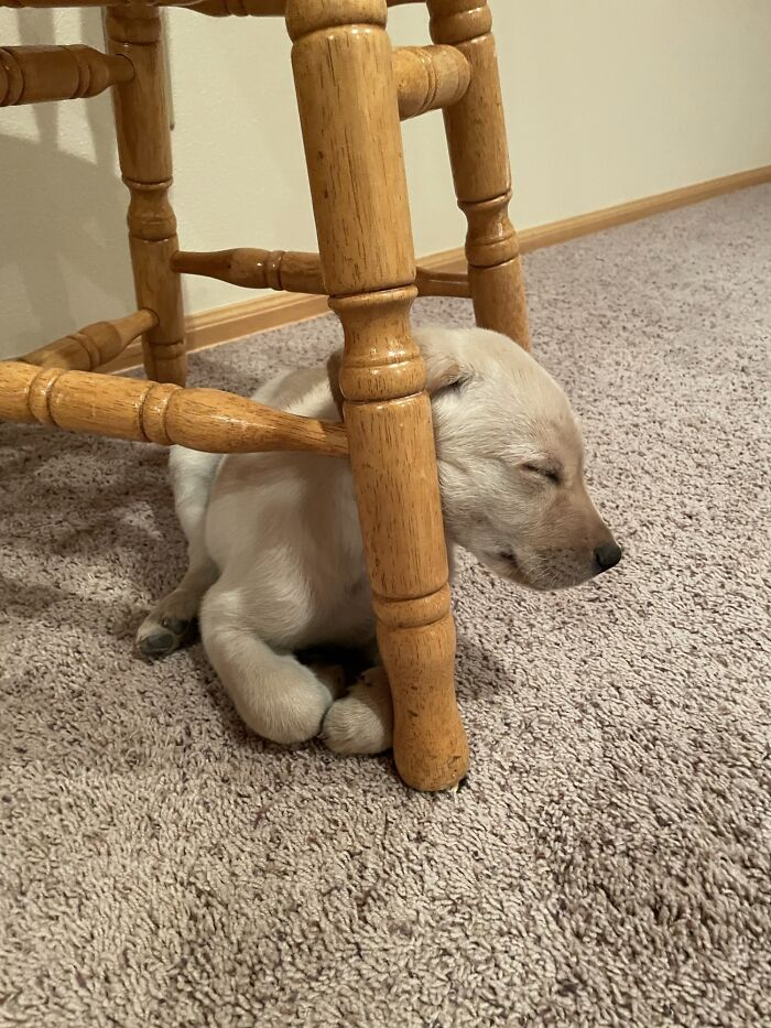 Picked Up My Dads New Puppy Today, This Is His New Favorite Spot