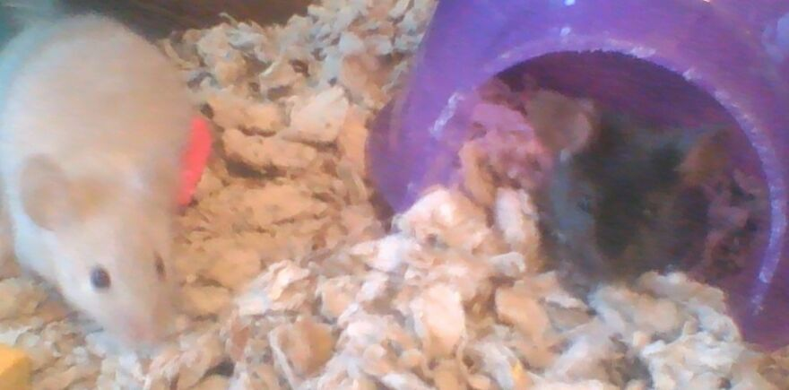 Hi Mom! (My Mice From Left To Right: Perla And Suzy)