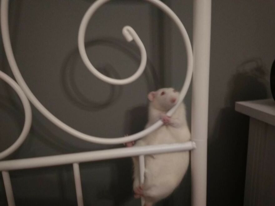 This Was My Rat Niles, While Regreting Some Of His Life Decisions