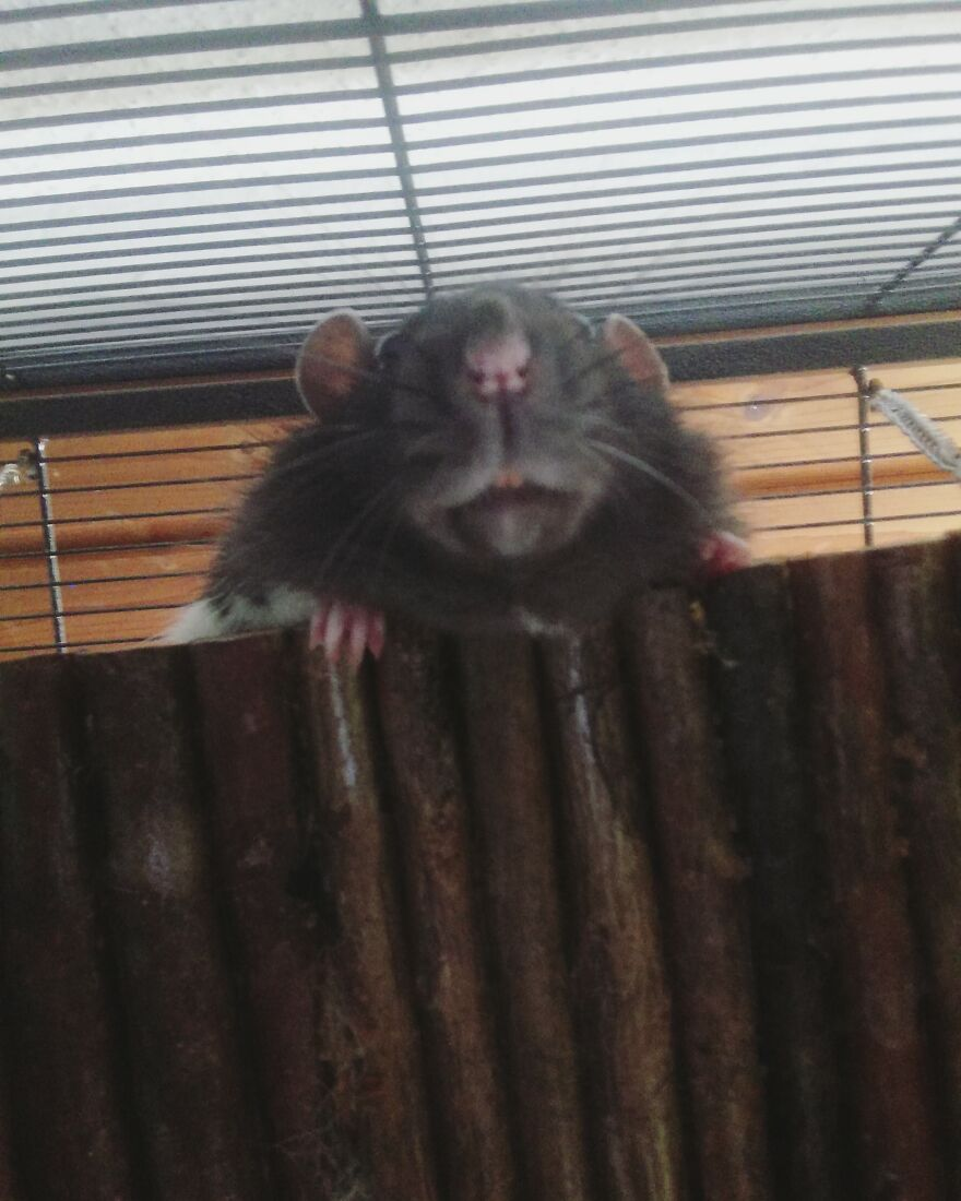 I Once Took This Picture Of My Rat Buddy From Below And I Still Laugh At It. He Looks Like The Witch Of The Waste From Howl's Moving Castle.
