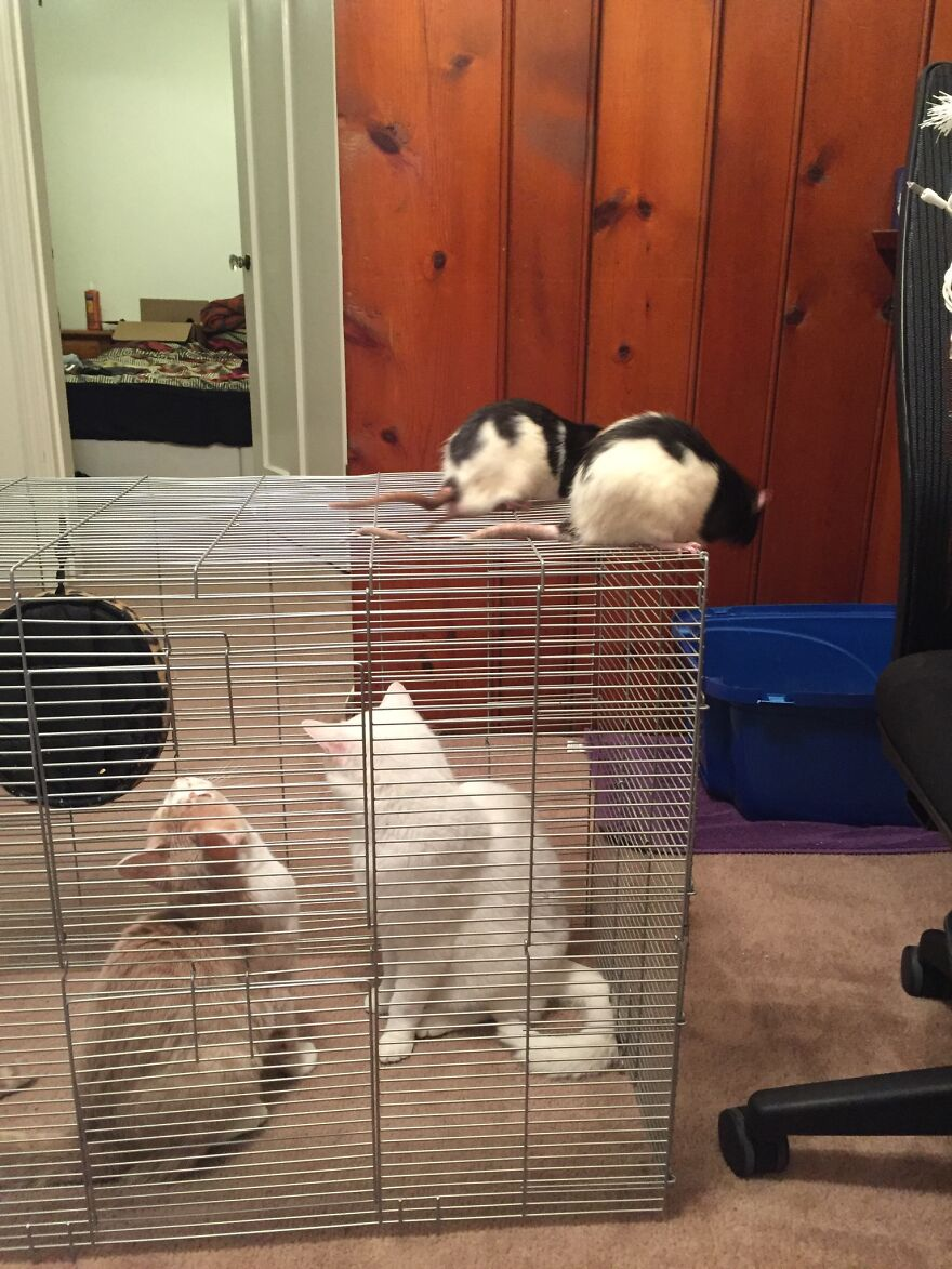 All Four Of My Boys While I Am Cleaning Felix's And Rufus's Cage, That Cats Are Very Curious About What They Do In The Cage!