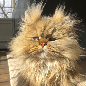 Meet Barnaby, A Gloomy-Faced Persian With A Permanent Bad Hair Day (52 Pics)