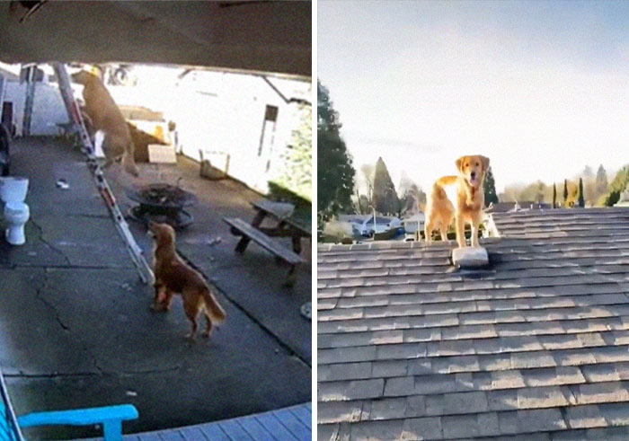 This Guy Checked Security Camera Footage To Find Out How His Dog Appeared On The Roof Next To Him, Apparently, He Climbed A Ladder