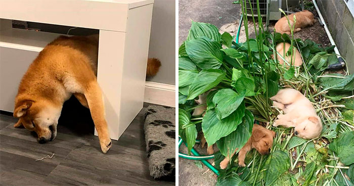 30 Times People Busted Their Dogs Having A Nap In The Funniest Positions And Shared The Pics For #SleepingDogChallenge