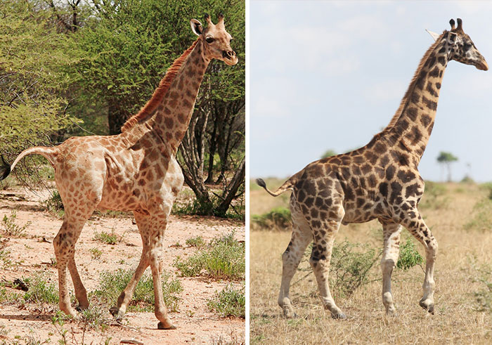 For The First Time Ever, Scientists Discover Dwarf Giraffes Standing At Just 9 Ft In Namibia And Uganda